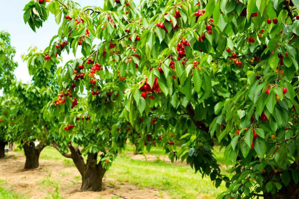 Afjeh; village of rich fruit trees
